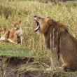 Stock Photo: Adult lion yawning and two lionesses in background, side vie