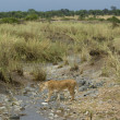 Stock Photo: Lioness in stream, Serengeti National Park, Serengeti, Tanzania