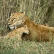 Lioness and her cub, Serengeti National Park, Serengeti, Tanzani - Stock Photo