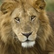 Stock Photo: Close-up portrait of Lion, Serengeti National Park, Serengeti, T
