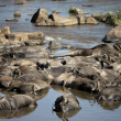 Dead wildebeest in river, Tanzania, Africa - Stock Photo