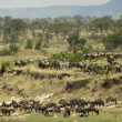 Zebras and Wildebeest in the Serengeti, Tanzania, Africa — Stock Photo