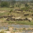 Stock Photo: Wildebeest in Serengeti, Tanzania, Africa
