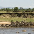 Wildebeest crossing the river in the Serengeti, Tanzania, Africa - Stok fotoğraf