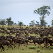 Stock Photo: Wildebeest running, Serengeti National Park, Serengeti, Tanzania