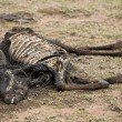 Dead cow on the ground, Tanzania, Africa - Stock Photo