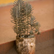 Outdoor potted plant, Tanzania, Africa - Stock Photo