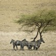 Stock Photo: Zebrin Serengeti, Tanzania, Africa