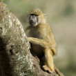Monkey sitting in tree in the Serengeti, Tanzania, Africa — Stock Photo #10885246