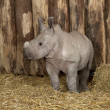 Young White Rhinoceros or Square-lipped rhinoceros - Ceratotherium simum (2 months old) — Stock Photo