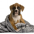 Puppy Boxer wrapped in blanket, 2 months old, in front of white background — Stock Photo