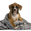 Puppy Boxer wrapped in blanket, 2 months old, in front of white background — Stock Photo #10885452