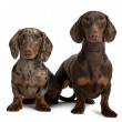 Couple of Dachshunds, 18 and 5 months old, sitting in front of white background — Stock Photo #10885693