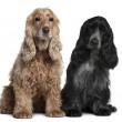 Two English Cocker Spaniels, 8 months and 1 year old, sitting in front of white background - Stock Photo