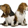 Stock Photo: Two sulking Basset Hounds