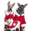 Peruvian Hairless Dogs and a puppy Chihuahua in Santa coats, 1 year, 2 years and 4 months old, in front of white background — Stock Photo #10886324