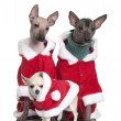 Постер, плакат: Peruvian Hairless Dogs and a puppy Chihuahua in Santa coats 1 year 2 years and 4 months old in front of white background