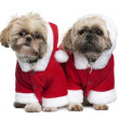Two Shi-Tzu's in Santa Claus suits, 3 years old, standing in front of white background — Photo