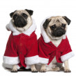 Stock Photo: Two Pugs in Santcoats, 1 and 2 years old, sitting in front of white background