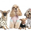 Group of 4 dogs dressed : chihuahua,shih tzu and Cocker Spaniel — Stok fotoğraf