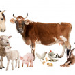 Group of farm animals : cow, sheep, horse, donkey, chicken, lamb — Stock Photo #10886458