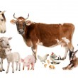 Group of farm animals : cow, sheep, horse, donkey, chicken, lamb — Stock Photo