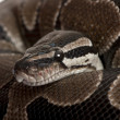 Close-up of Python regius snake — Stock Photo