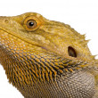Close-up of Lawson's dragon, Pogona henrylawsoni, against white background — Stock Photo