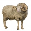 Arles Merino sheep, ram, 5 years old, standing in front of white background — Stock Photo #10887309