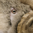 Close-up of Arles Merino sheep, ram, 5 years old — Stock Photo #10887327