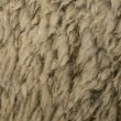 Close-up of Arles Merino sheep wool — Stock Photo #10887332