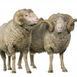Two Arles Merino sheep, rams, standing in front of white background - Stock Photo