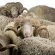 Herd of Arles Merino sheep, rams, in front of white background - Stock Photo