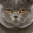 Close up of a british shorthair (2 years old) - Stock fotografie