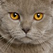Close up of a british shorthair (10 months old) — Foto de Stock