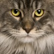Close up of a Maine Coon (2 years old) - Stock Photo