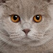 Close up of a british shorthair (9 months old) - Stock Photo