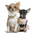 Постер, плакат: Two Chihuahuas 6 months and 1 year old sitting in front of white background