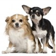 Two Chihuahuas, 6 and 2 years old, in front of white background — Stock Photo