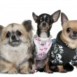 Stock Photo: Group of Chihuahuas dressed up, 3 and 2 years old, in front of white background