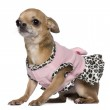 Dressed Chihuahua, 4 years old, sitting in front of white background — Stock Photo