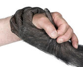 Handshake between Human hand and monkey hand — Stock Photo