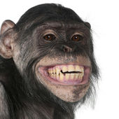 Mixed-Breed monkey between Chimpanzee and Bonobo — Stock Photo