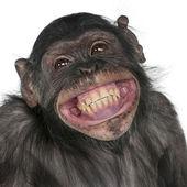 Mono de raza mezclada entre el chimpancé y el bonobo — Foto de Stock