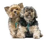 Couple of Yorkshire Terrier, sitting (7 years old) — Stock Photo