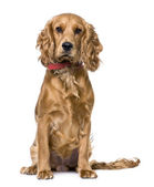 Cocker Spaniel, sitting (1 years old) — Stock Photo