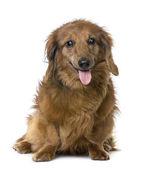 Old sightless dog : Dachshund (15 years old) — Stock Photo