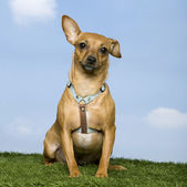 Pinscher ( 2 years old) — Foto de Stock