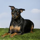Pinscher (15 months old) — Stock Photo