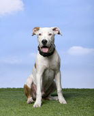 American Staffordshire terrier puppy (5 months) sitting on the grass against blue sky — Stock Photo